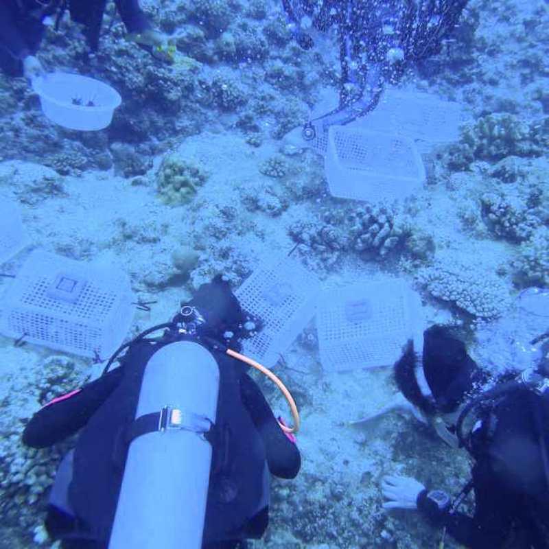 サンゴの苗を清掃中