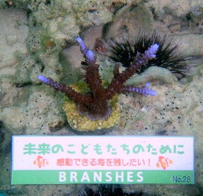 ブランシェスサンゴ