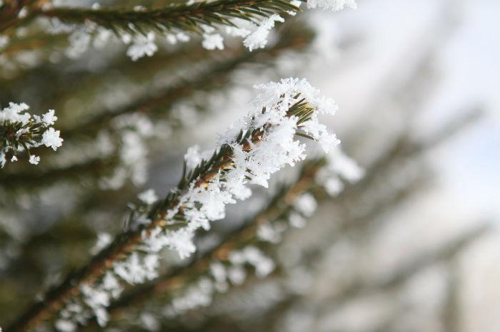 霜の降りた木