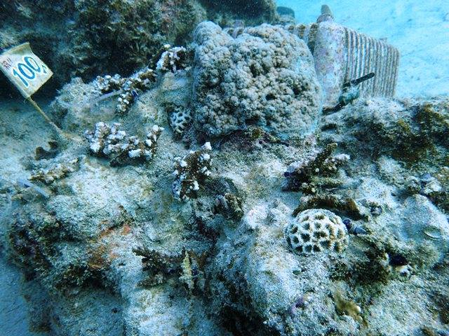 12月計測サンゴ全体