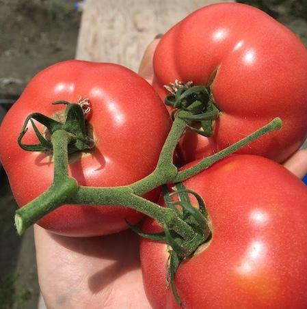 採れたてトマト