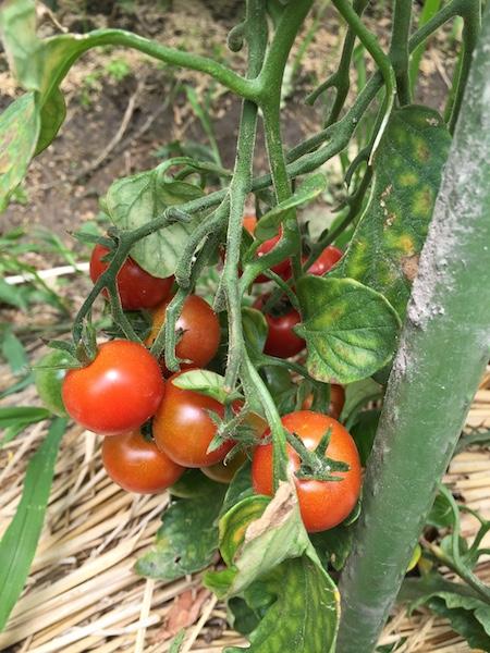 成っているプチトマト