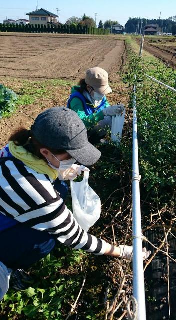 ハックルベリー収穫