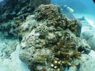 サンゴのモニタリング