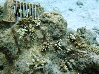 2016年5月サンゴモニタリング