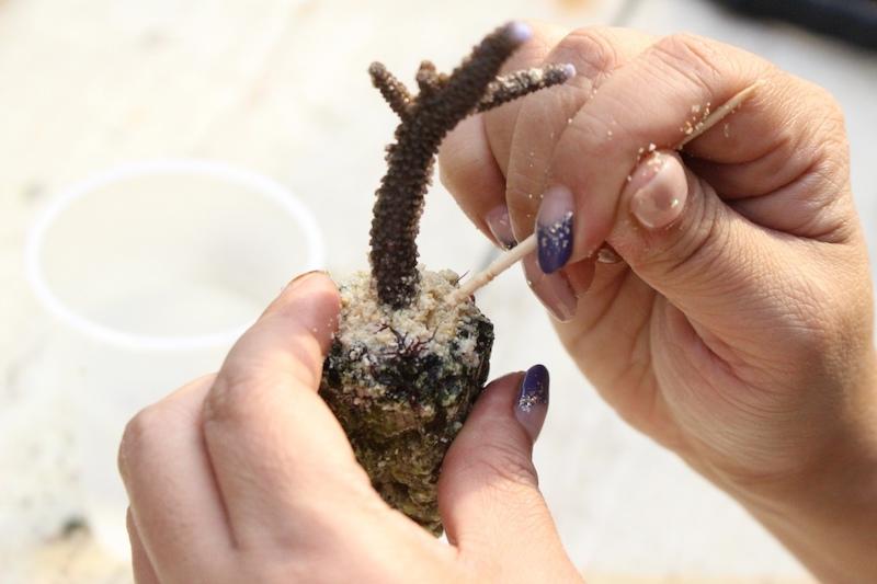 サンゴの苗づくり