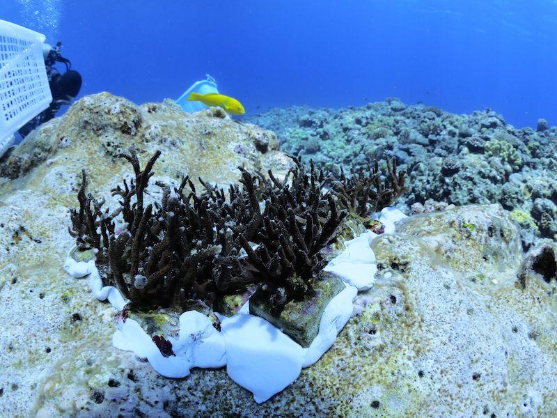 土台に密着させたサンゴ