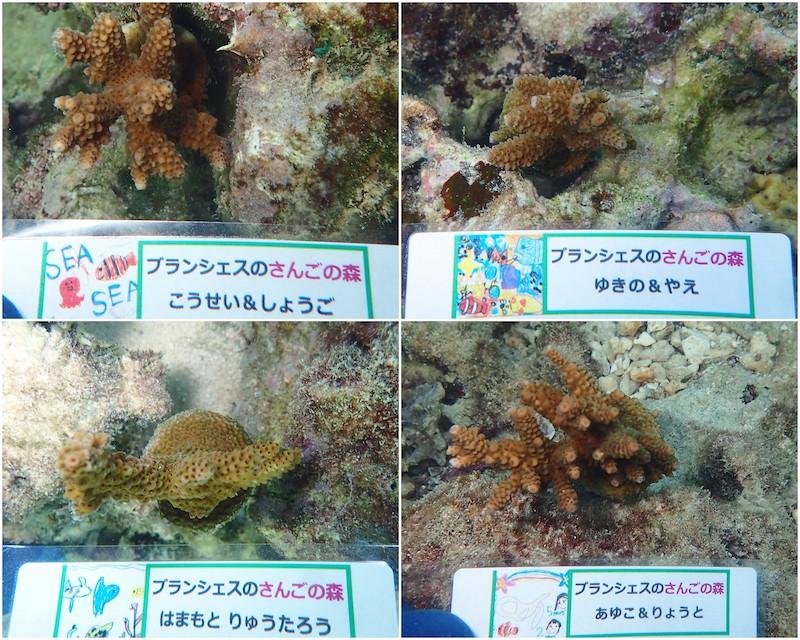 サンゴのうえつけ